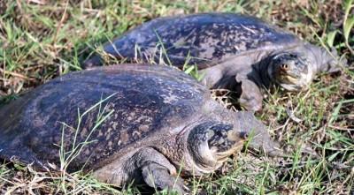 বিরল প্রজাতির ২ 'ধুম কাছিম' বাইক্কা বিলে অবমুক্ত