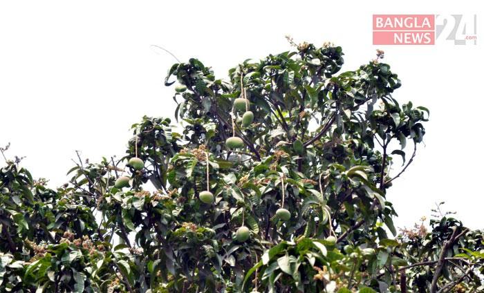 গাছের ডালে ঝুলছে আম, ছবি: জিএম মুজিবুর